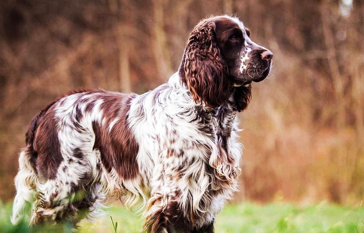 perro de caza de raza Sprinter Spaniel