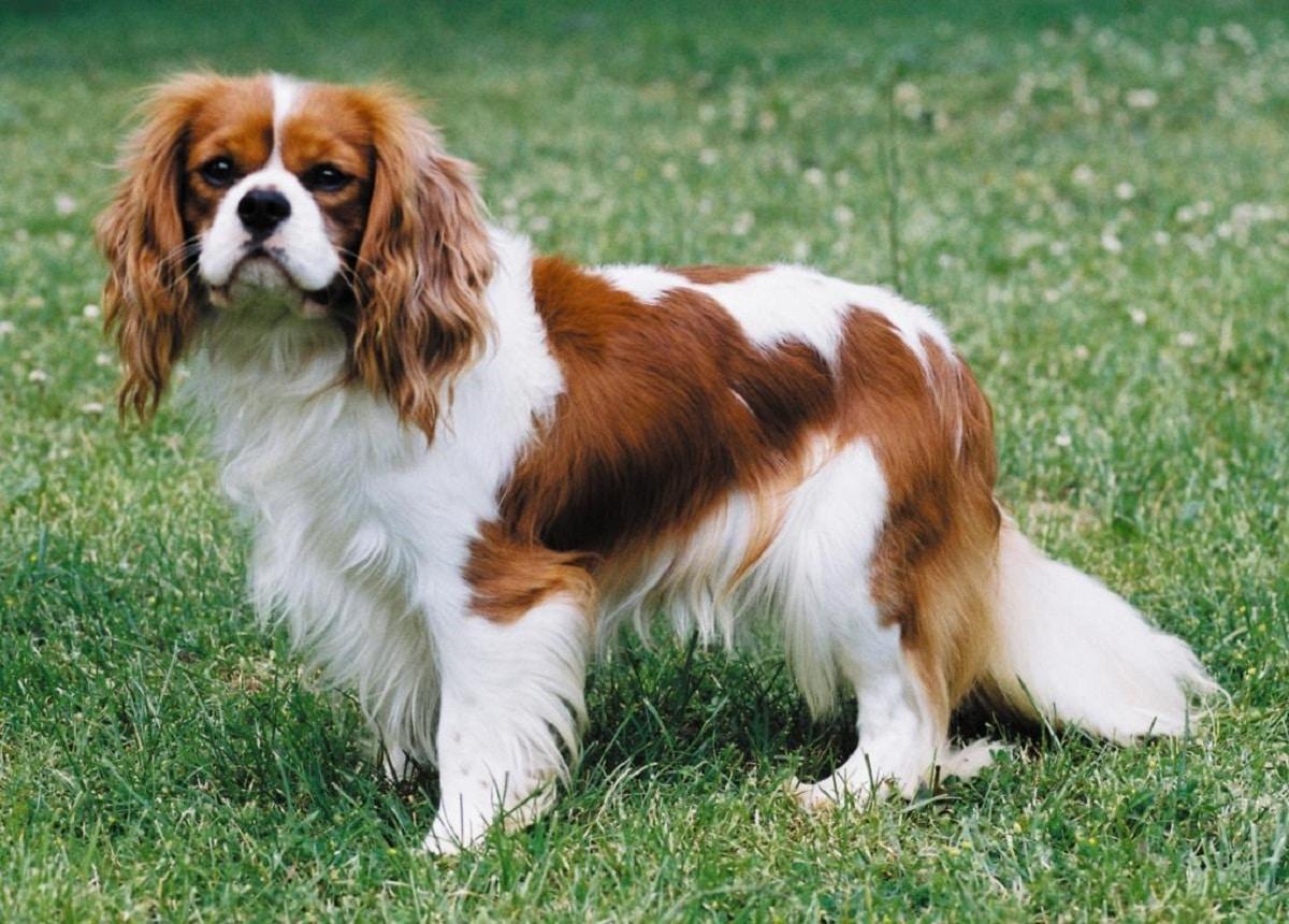 perro de tamano pequeno llamado Cavalier King Charles
