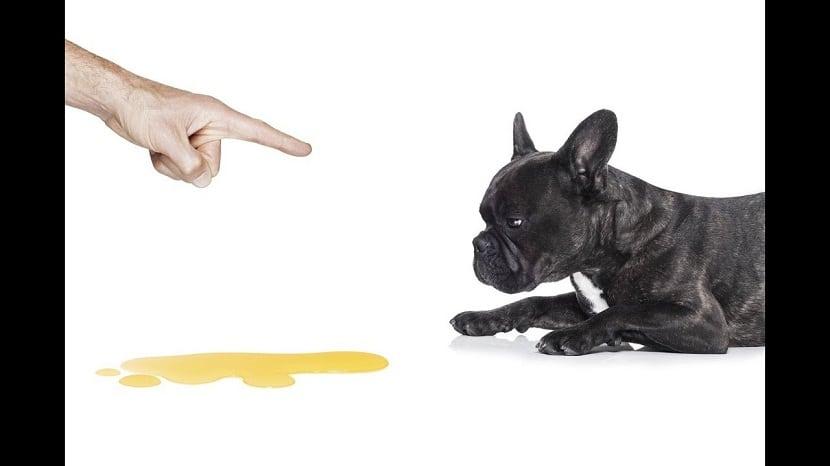 perro siendo regañado por hacerse pis