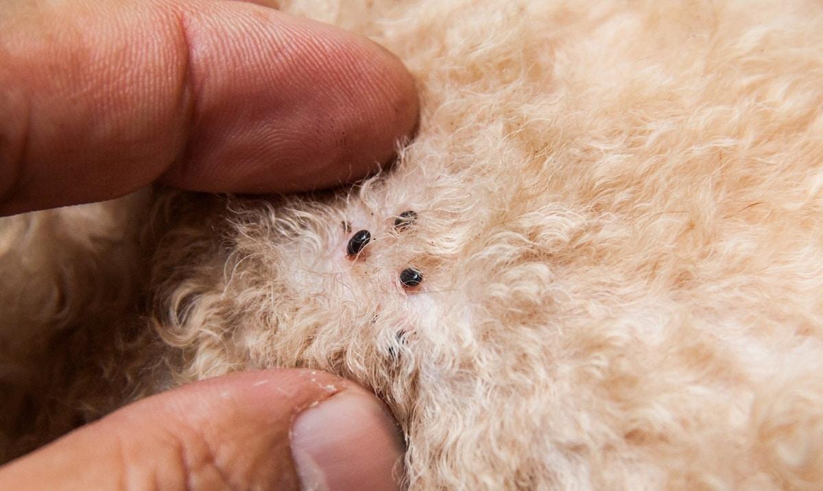 pulgas y garrapatas en piel de perro