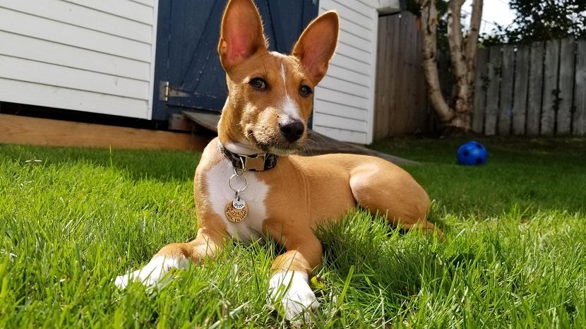raza de perro Basenji
