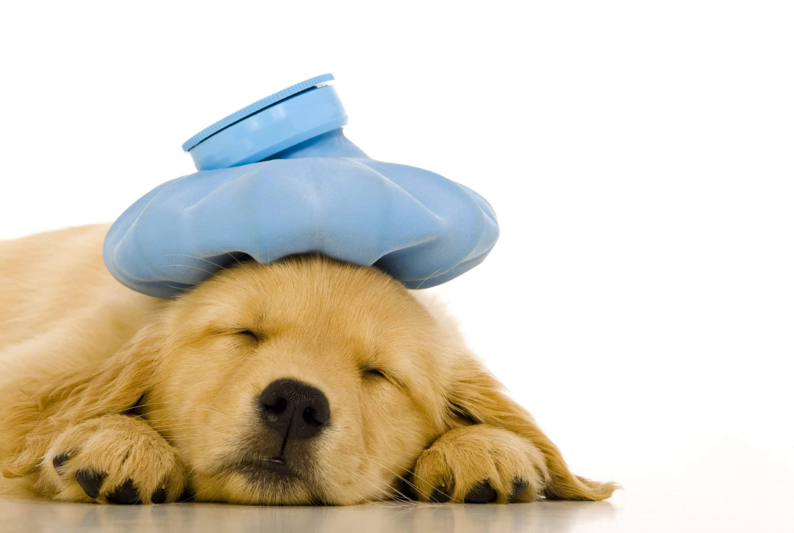 Cachorro débil y enfermo
