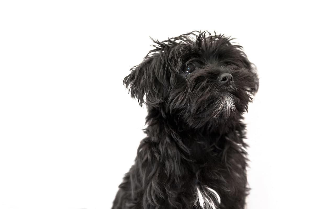 raza de perro Morkie