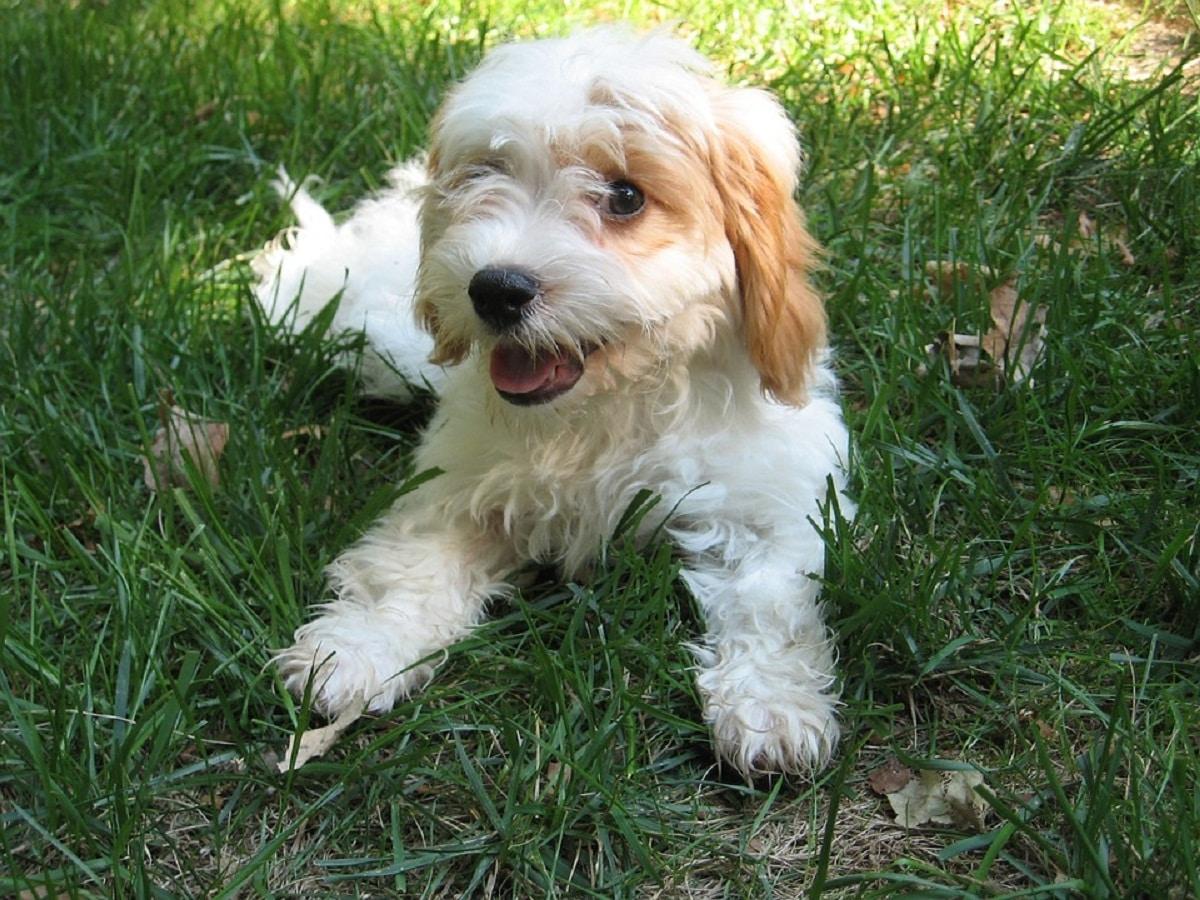 precioso cachorro de raza