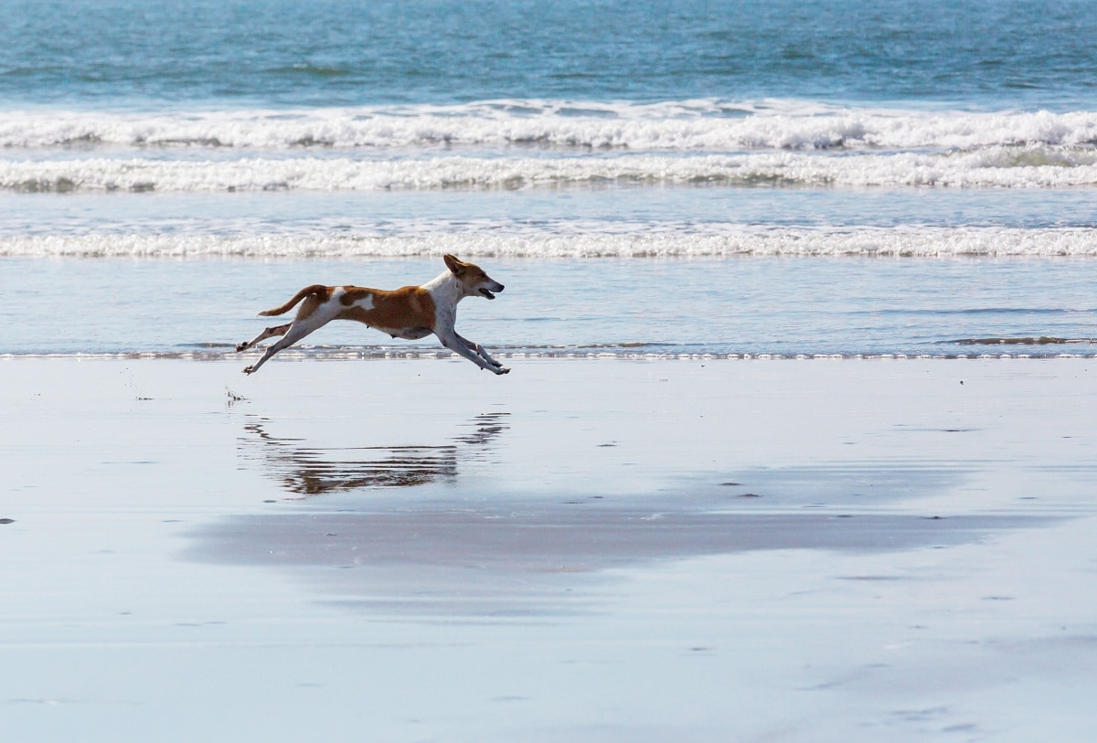 podenco corriendo por la playa