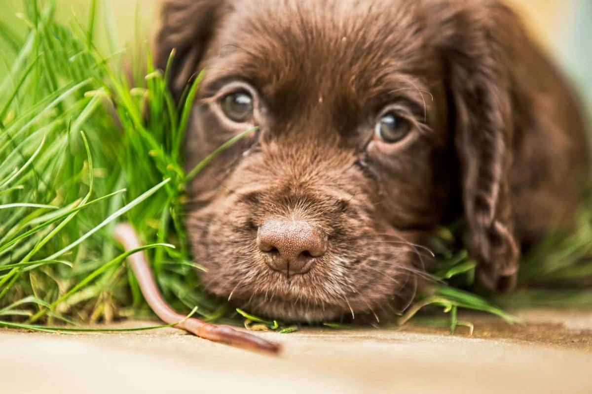 Infecciones parasitarias en cachorros