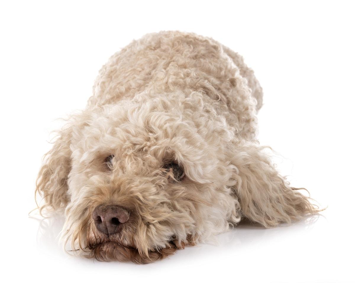 perro de agua con la cabeza apoyada en el suelo