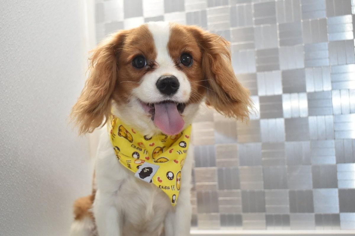perro de tamano pequeno con panuelo amarillo