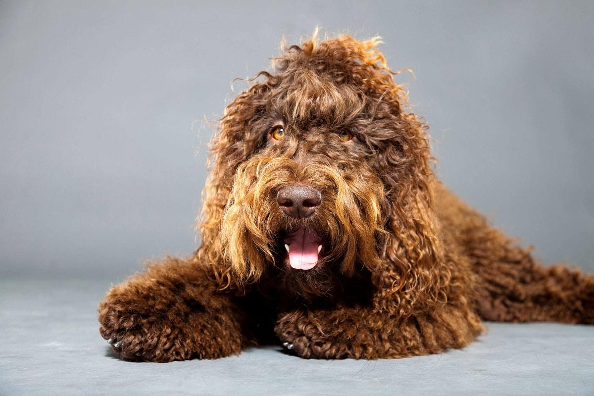 perro de agua de color marron