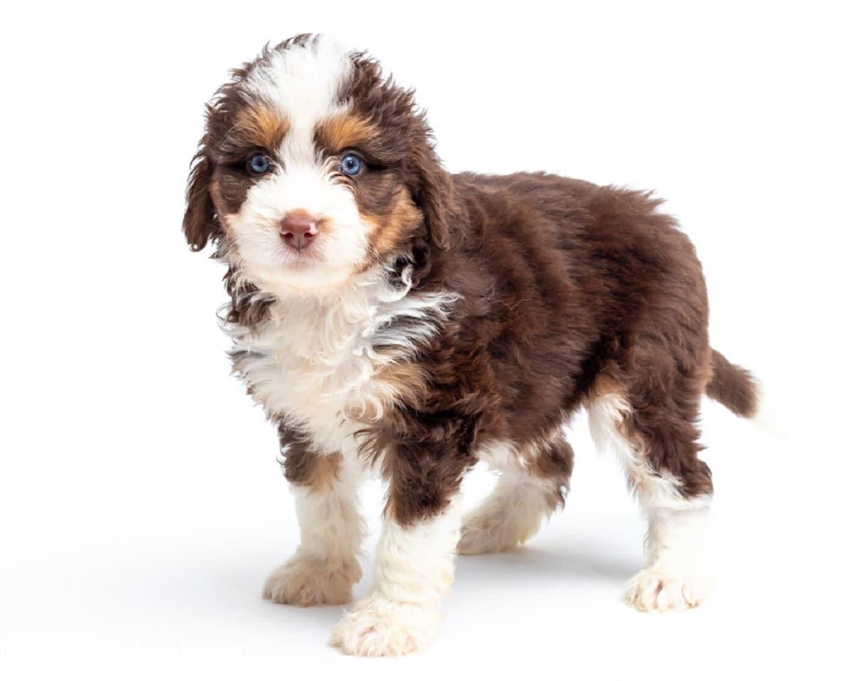 perro de color blanco y marron con ojos azules