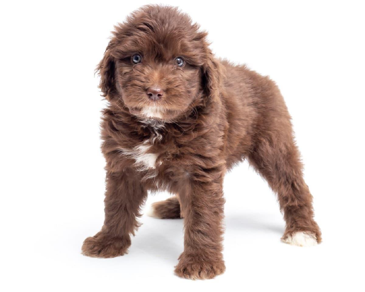 perro de tamano pequeno con ojos muy redondos