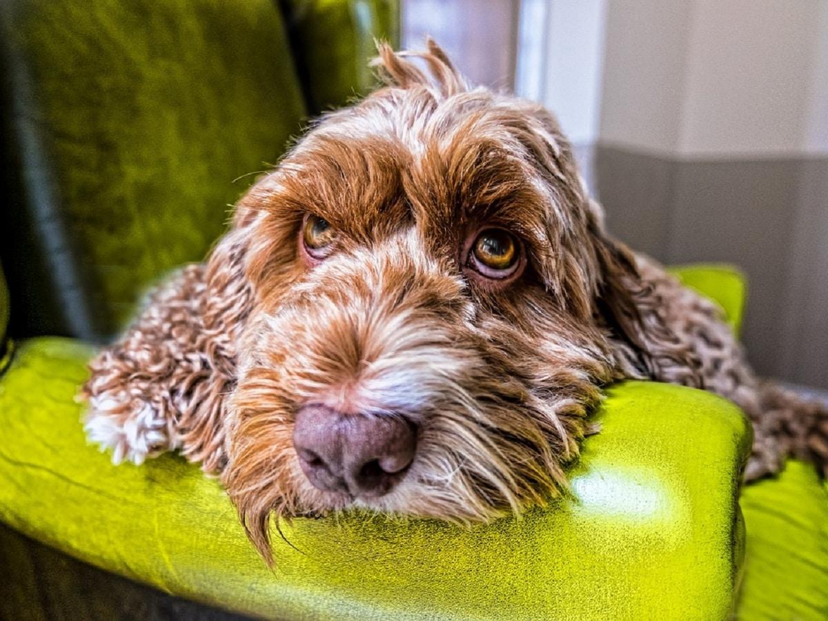 perro con la cara en el sofa