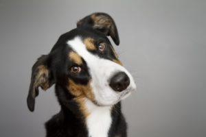 Picor de oídos en perros