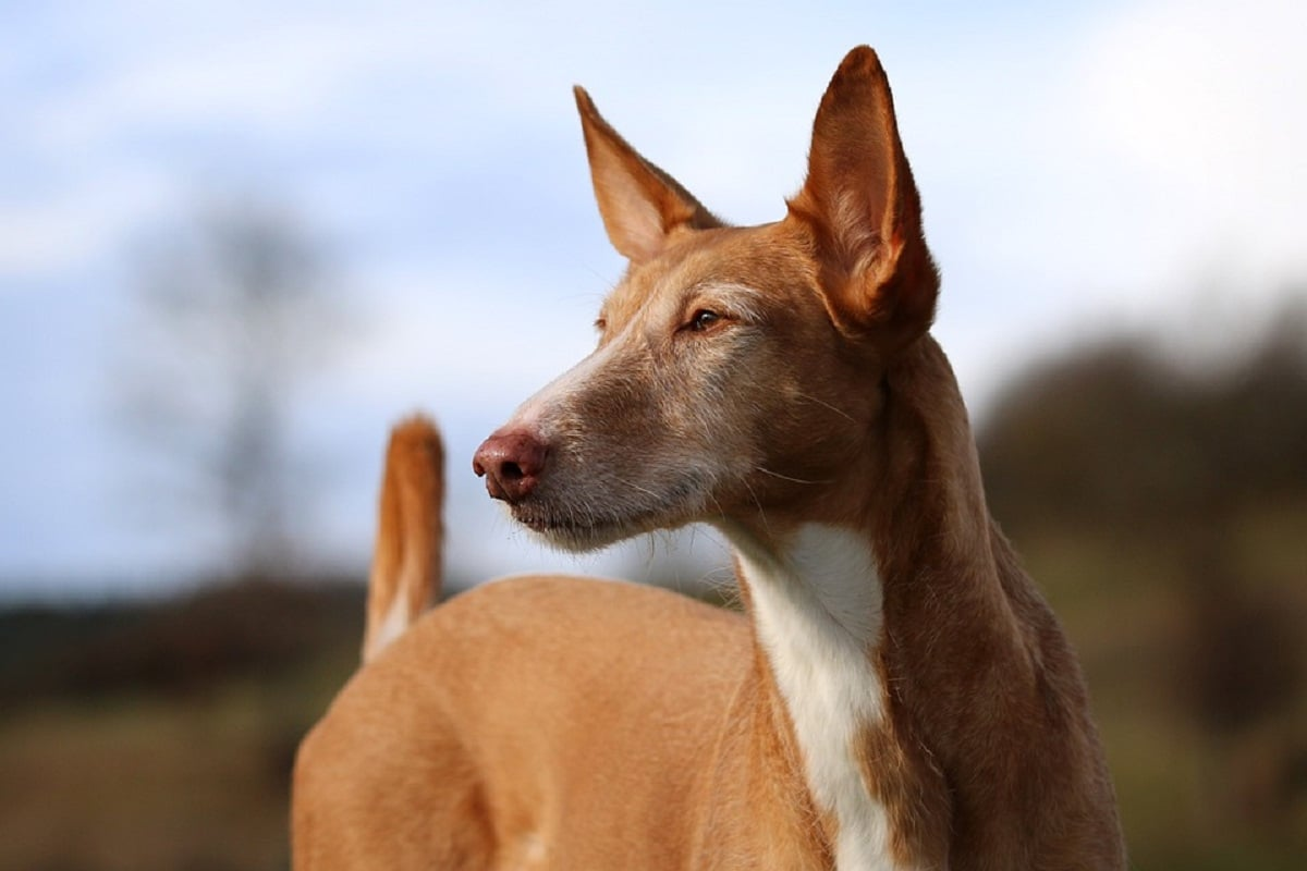 raza de perro podenco