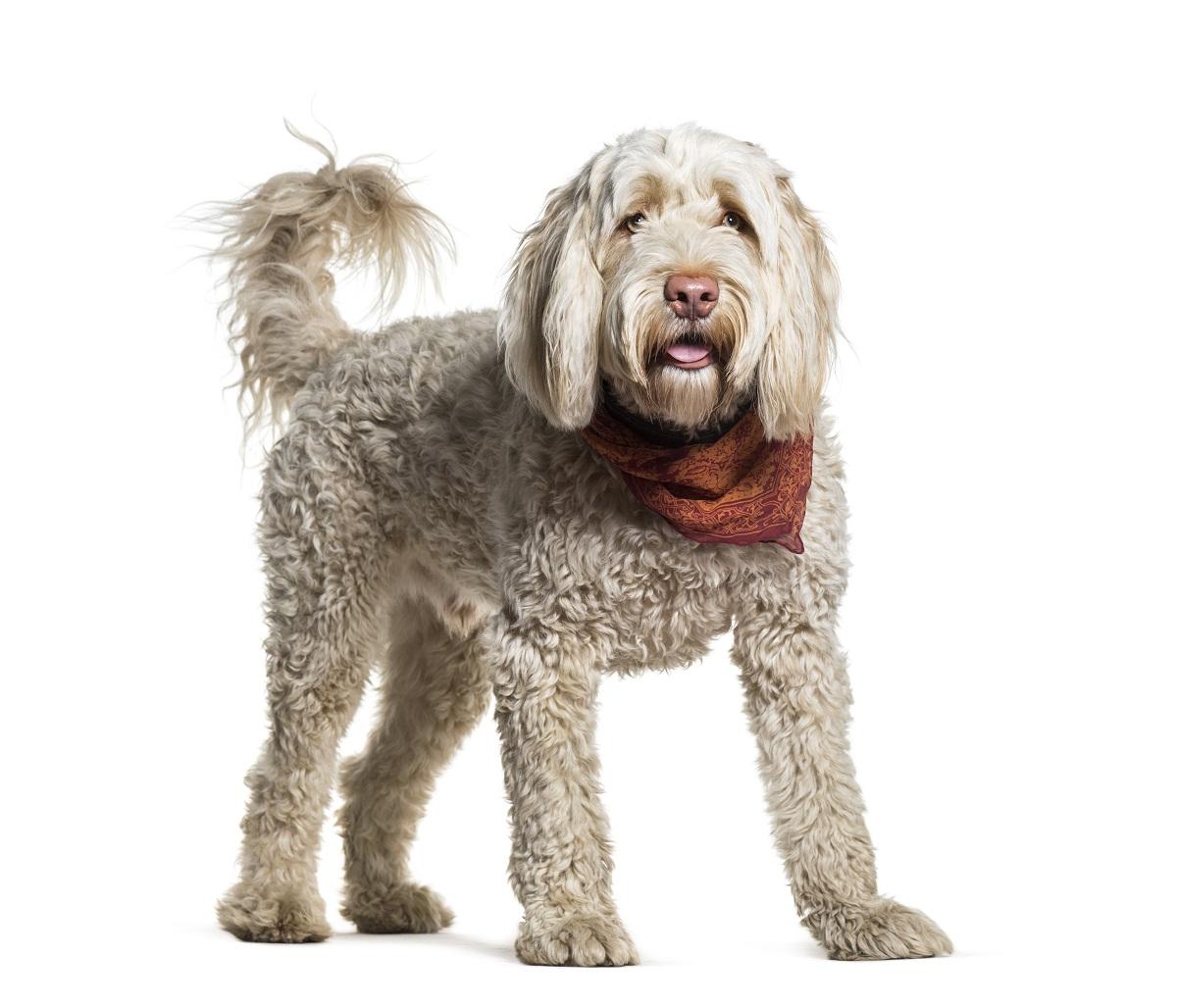 perro de agua con panuelo rojo