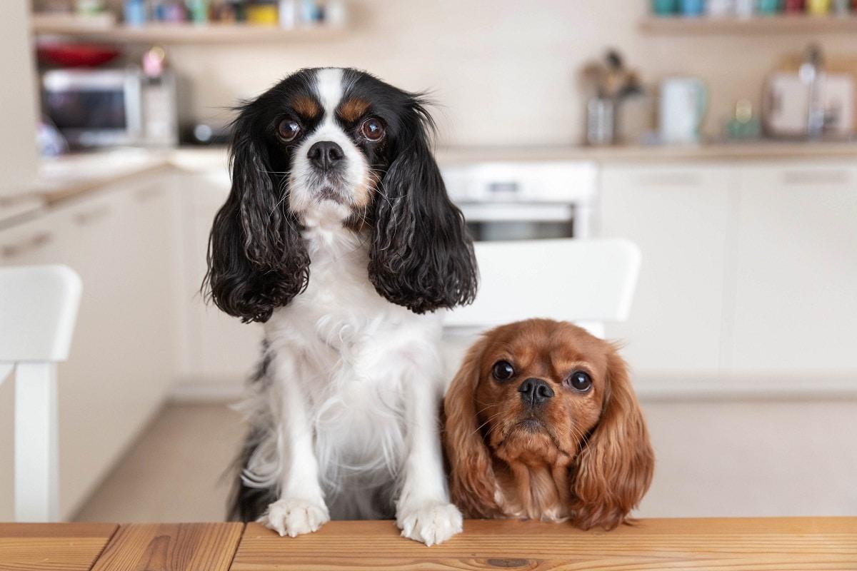 dos perros de tamano pequeno esperando la comida