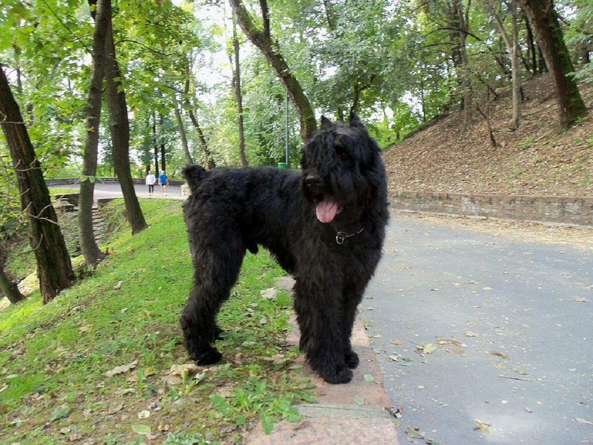 Boyero De Flandes en el parque
