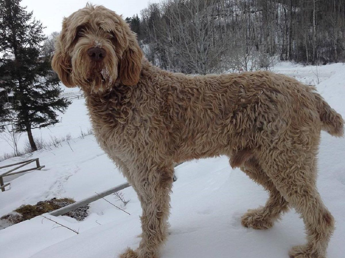 Spinone Italiano de color marron