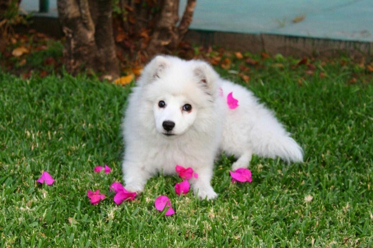 cachorro de perro de color blanco rodeado de petalos rosas