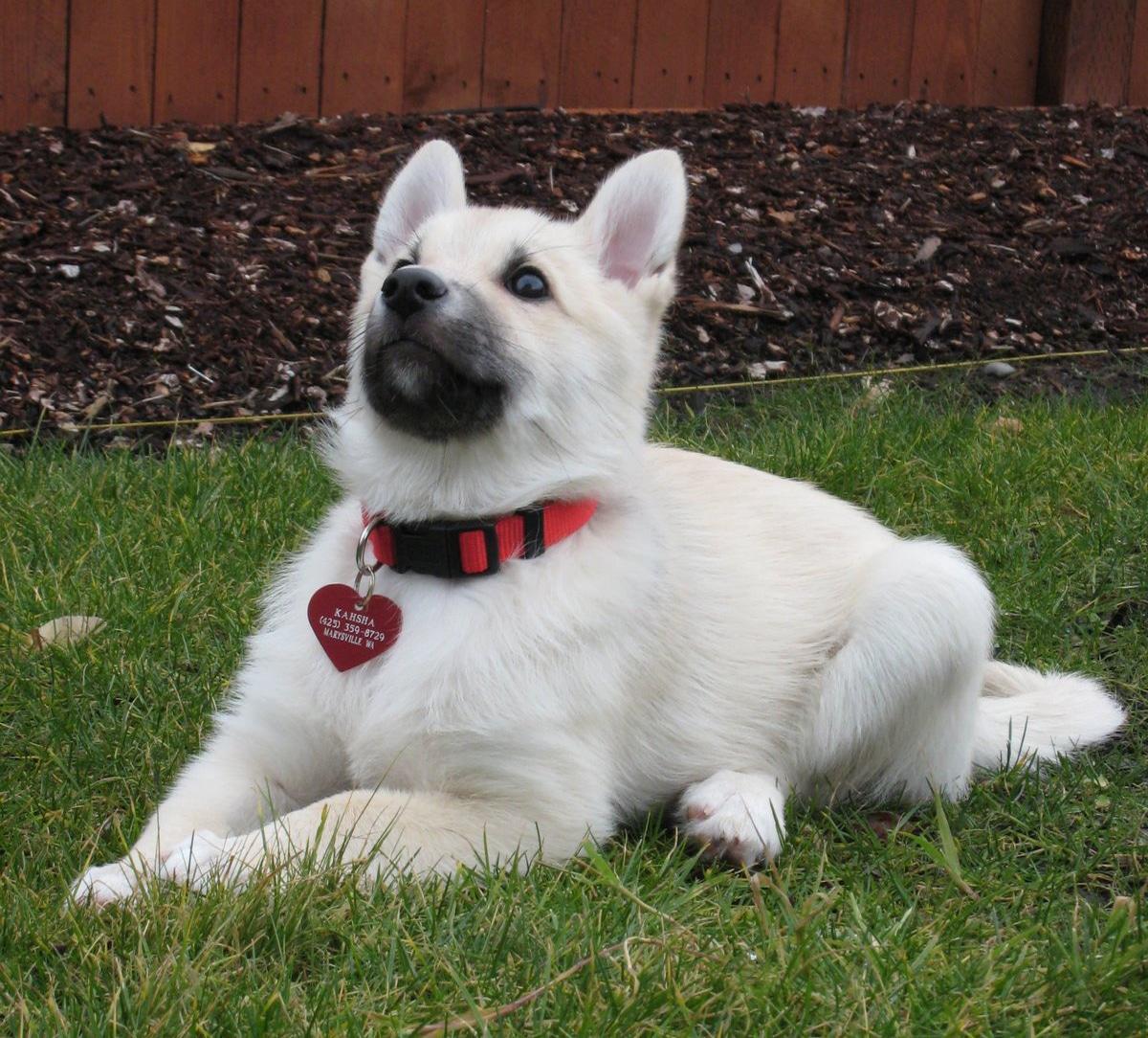 cachorro de perro de la raza Buhund Noruego
