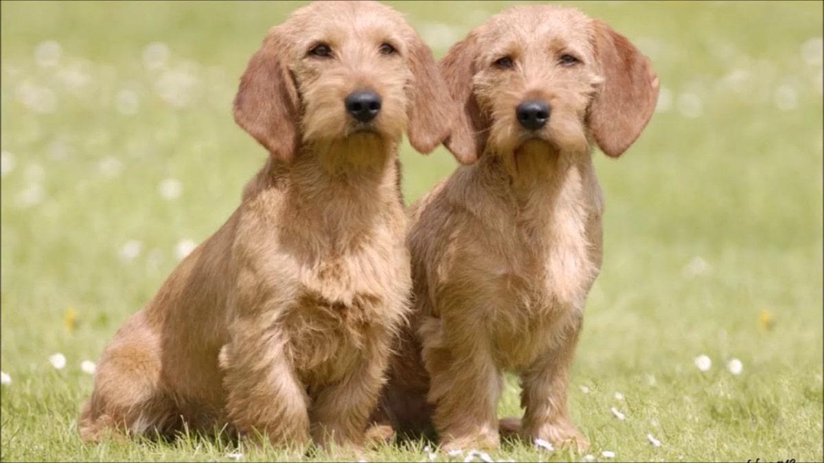 dos perros de tamano pequeno llamados Basset Leonado de Bretaña