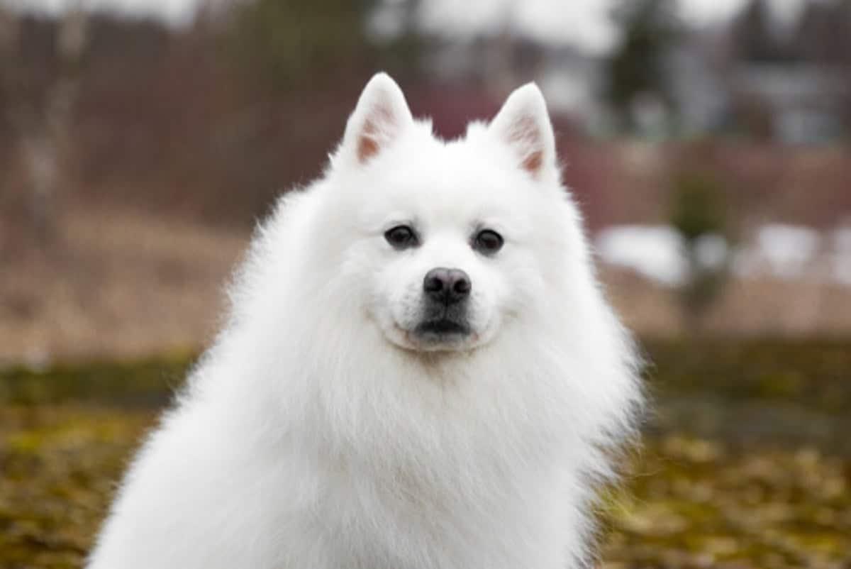 perro con gran pelaje y raza japonesa