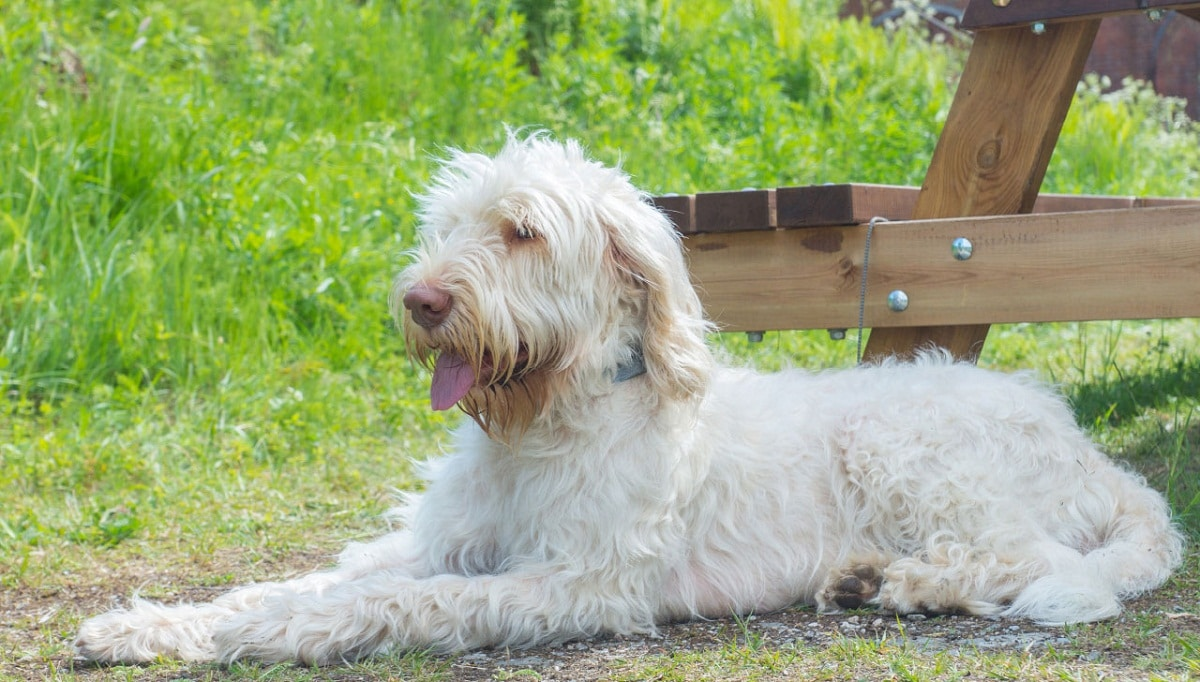 perro de color claro tumbado