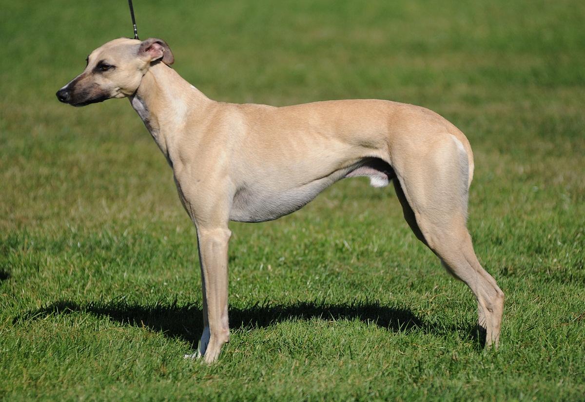 perro de color marron parecido a un galgo