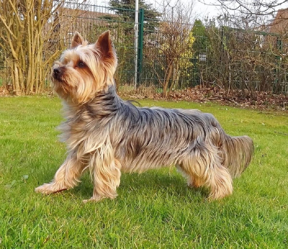 perro de la familia de los terrier llamado Australian Silky Terrier