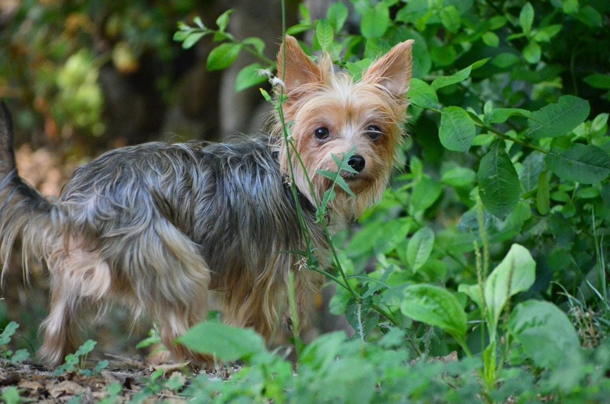 perro de tamano pequeno de la familia de los Terrier