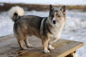 perro parecido a pastor aleman pero con patas cortas