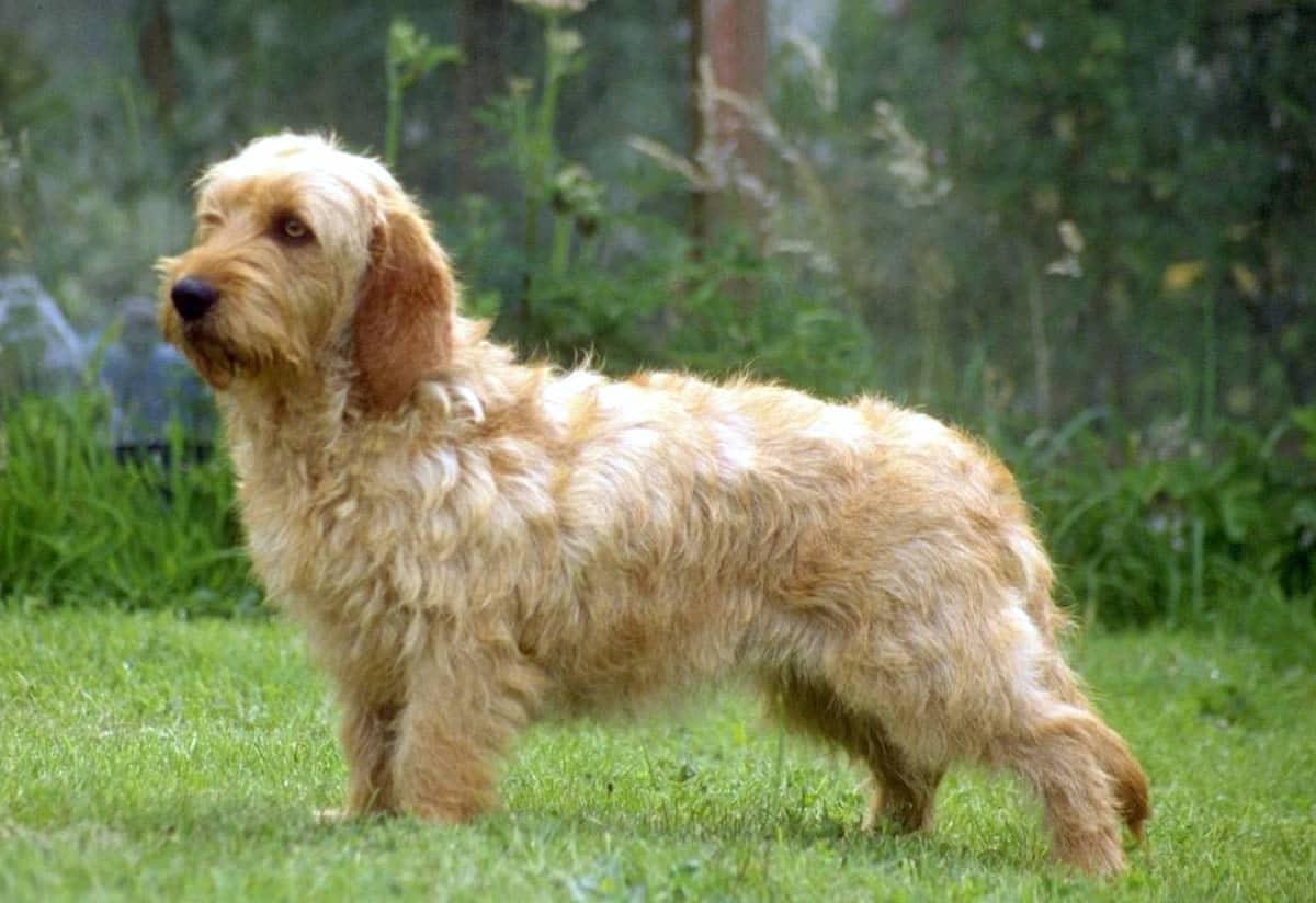 perro pequeno marron con patas cortas