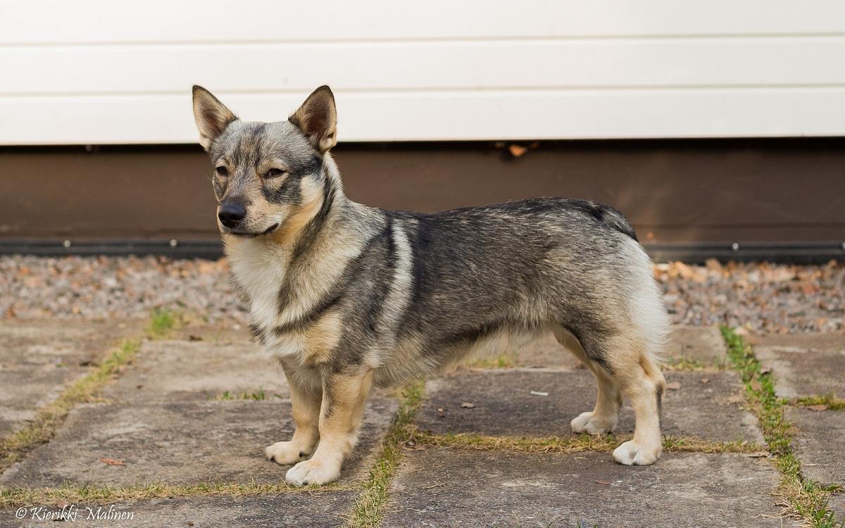 perro que parece un lobo pero con las patas cortas