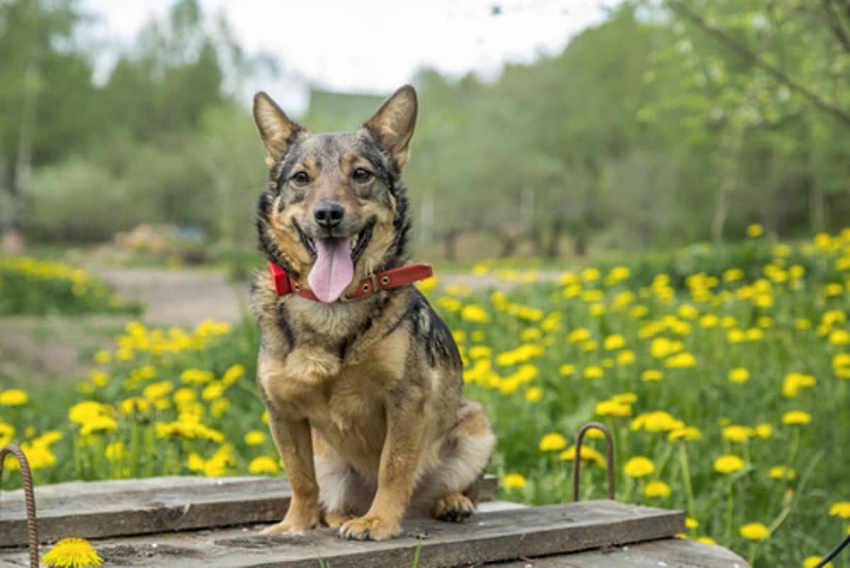 perro sentado en un tablon y con la lengua fuera