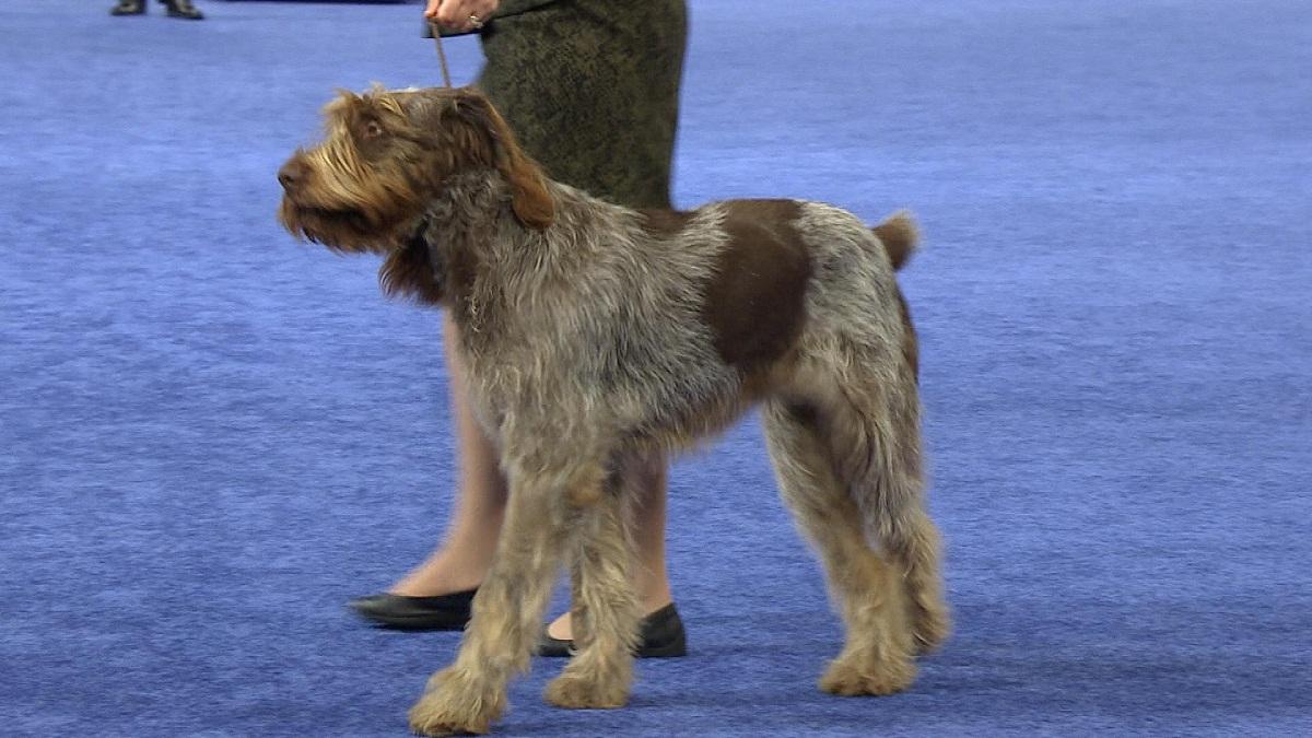 raza de perro andando por una alfombra morada