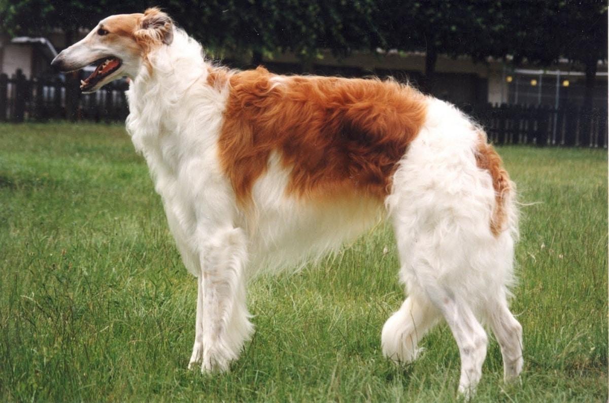 dos perros de la raza borzoi parecidos a galgos