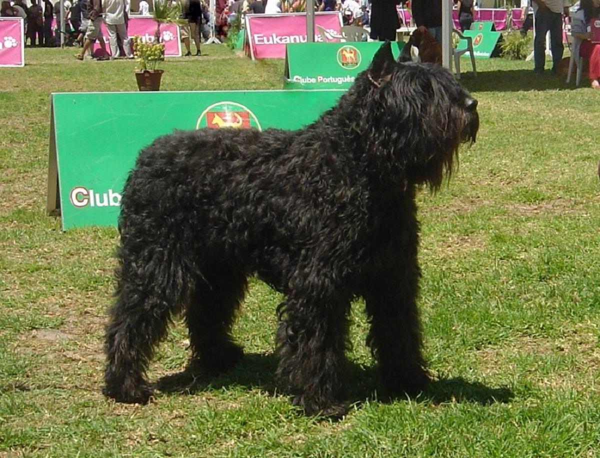 raza de perro de color negro y mucho pelaje