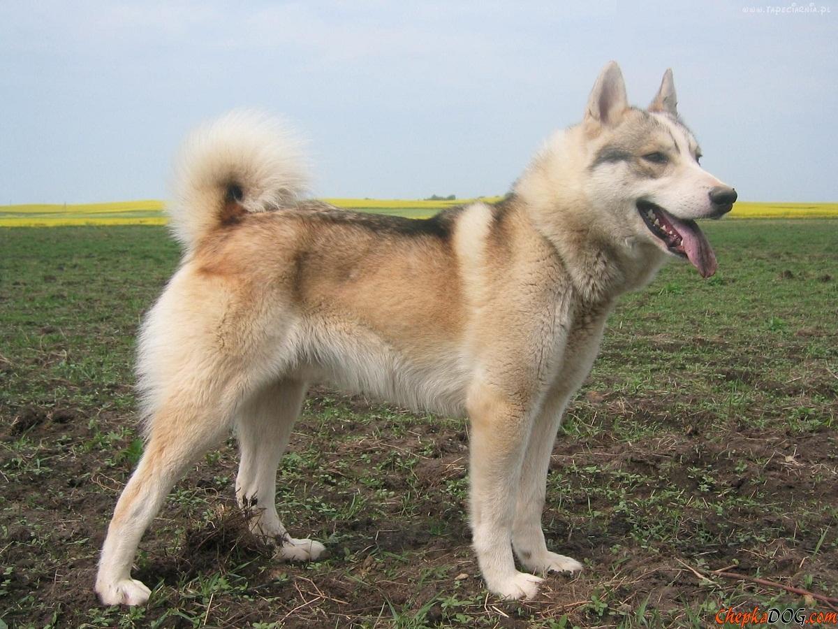 raza de perro muy elegante llamada Buhund Noruego