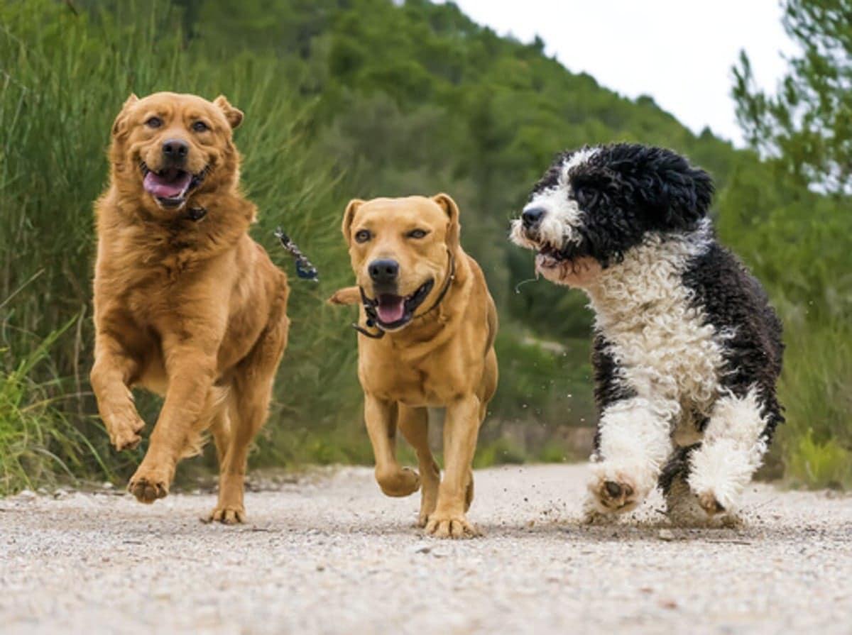 tres perros corriendo por el parque