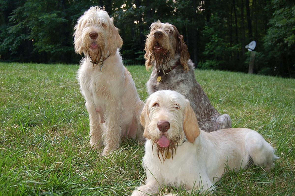 tres perros de la raza Spinone Italiano