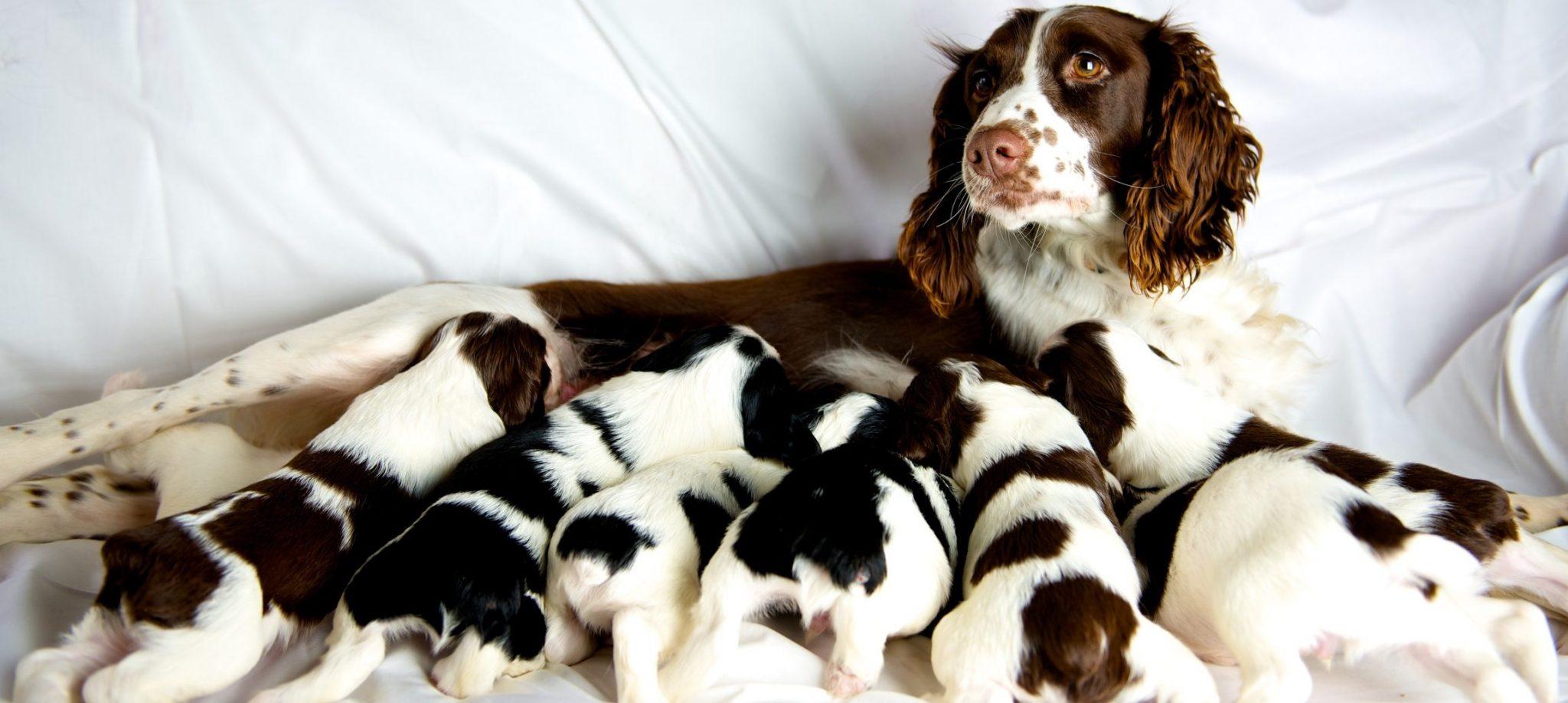 Preparar las perras para el parto