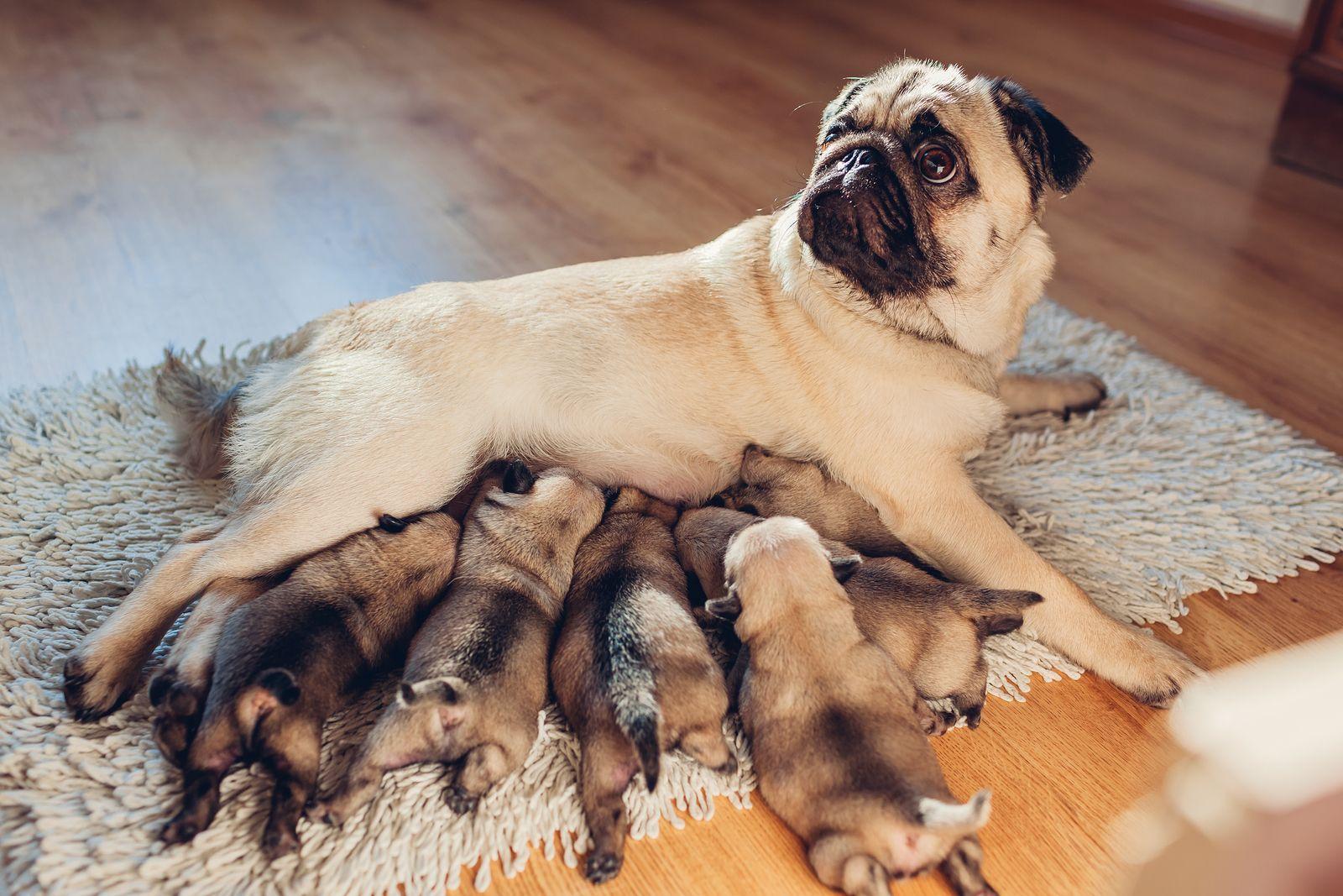 Complicaciones del parto en las perras