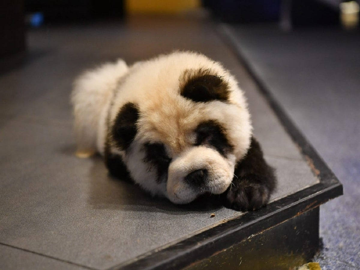 cachorro de Chow Chow Panda que parece un cachorro de panda
