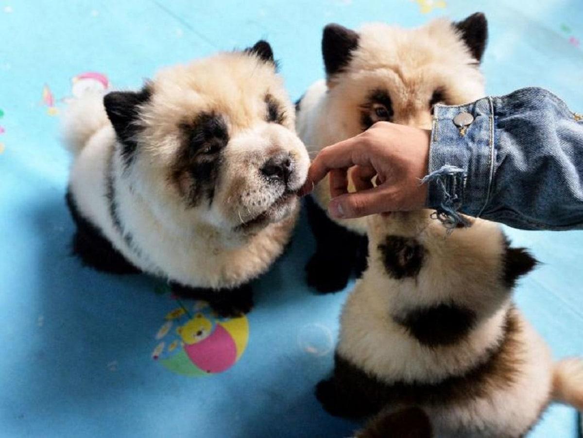 cachorros de perros maquillados como un panda