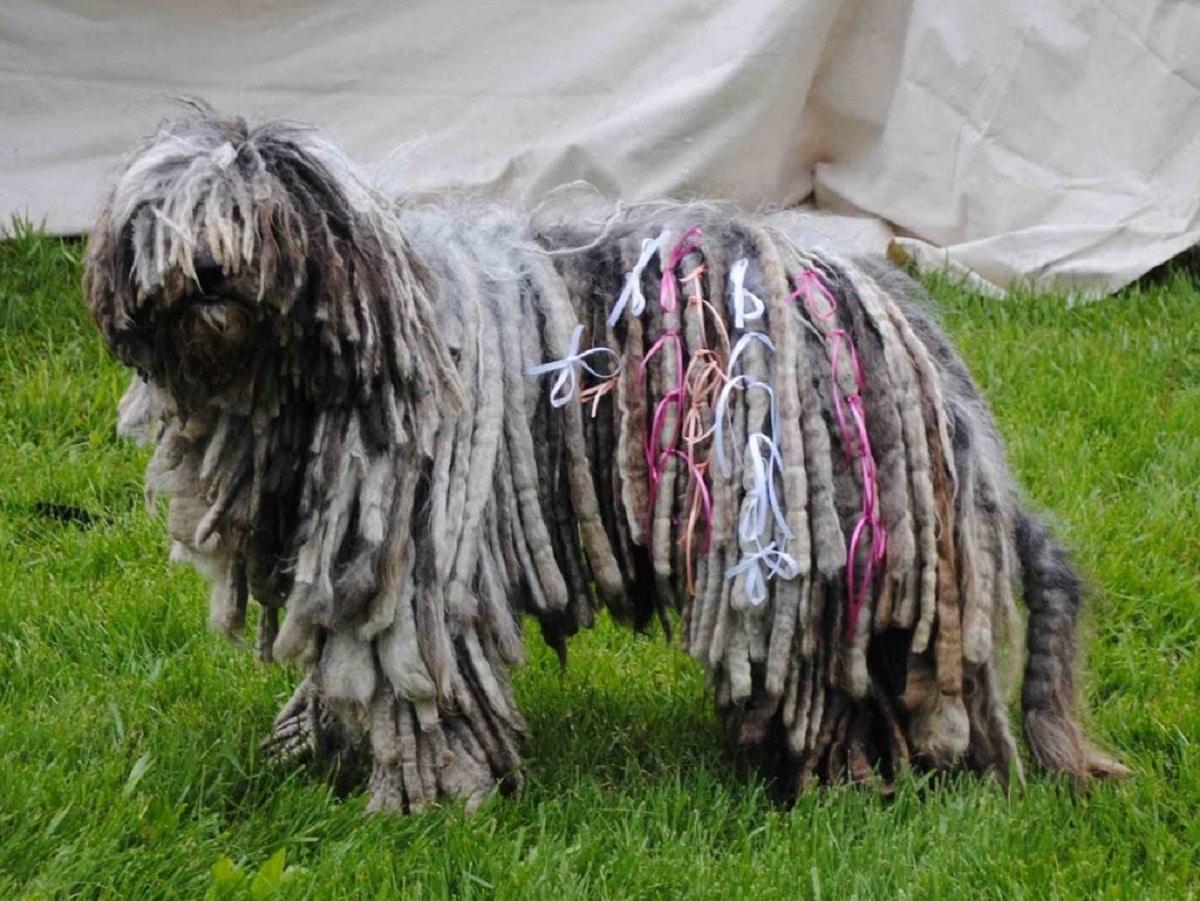 perro con rastas y cintas de colores
