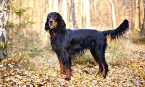 perro de caza de color negro azabache