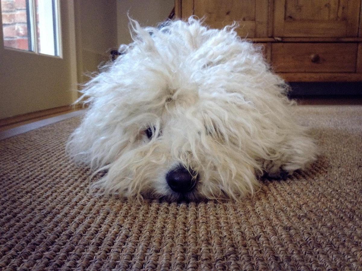 perro de pelo blanco con la cabeza en el suelo