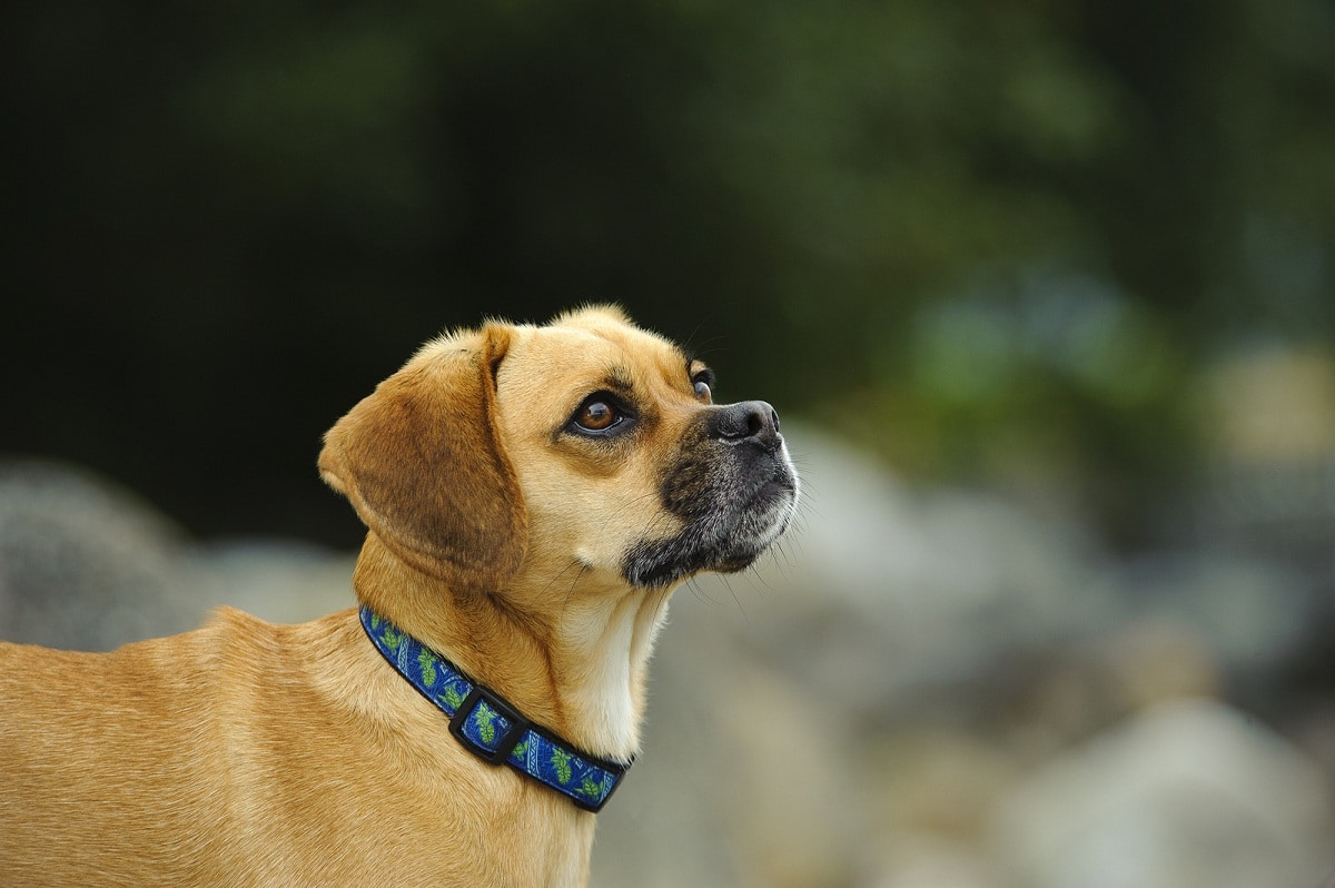perro de raza pequena con collar azul