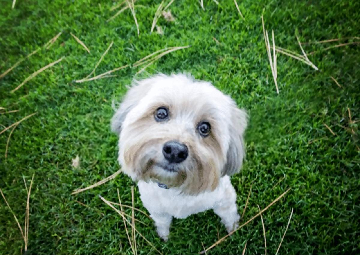 perro de tamano pequeno y con una mirada muy dulce