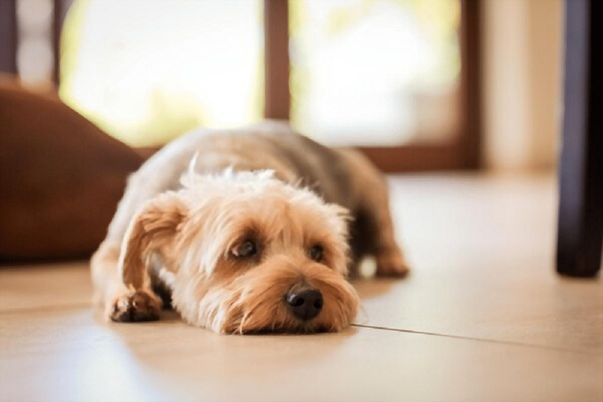 perro de tamano pequeno y pelo corto tumbado en el suelo